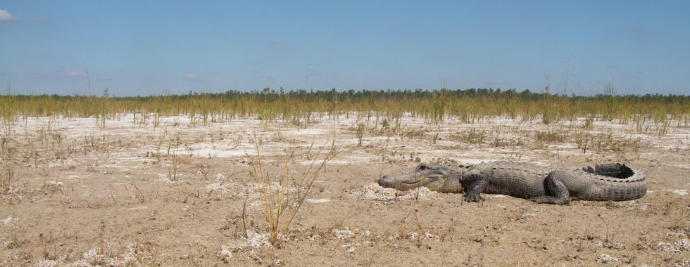 alligator in drought